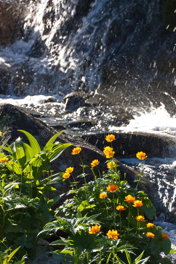 The blossoming orange globeflower Trollius against the background of a mountain stream. In Sayan Mountains stock image