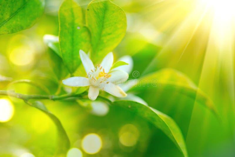 Blossoming orange or lemon tree. Healthy organic lemon or orange growing in sunny orchard royalty free stock image