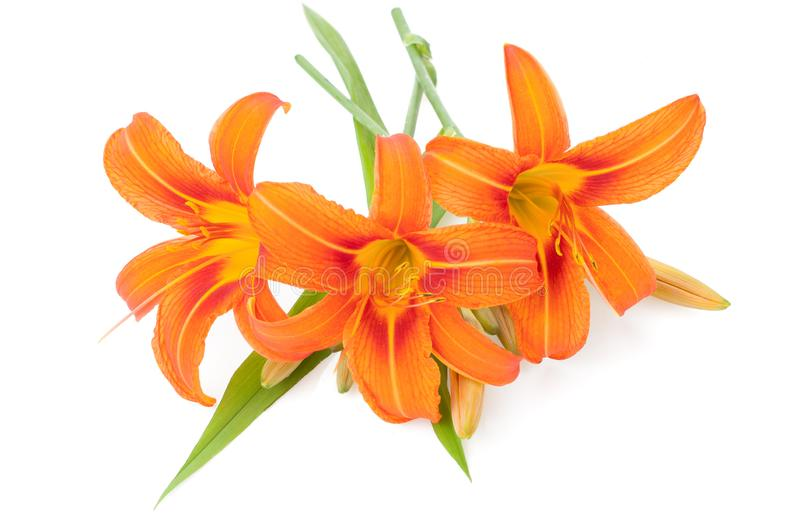 Blossoming orange lilies isolated on a white background. The Blossoming orange lilies isolated on a white background stock photos