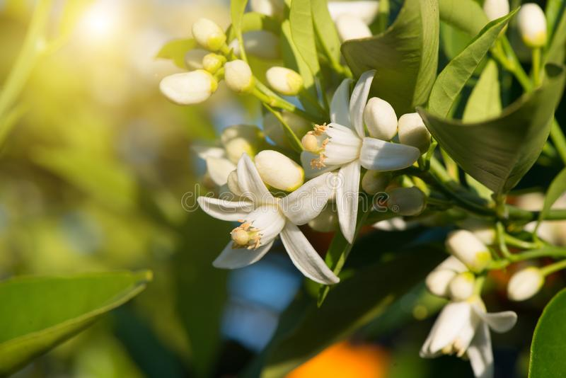 Blossoming orange tree. royalty free stock image