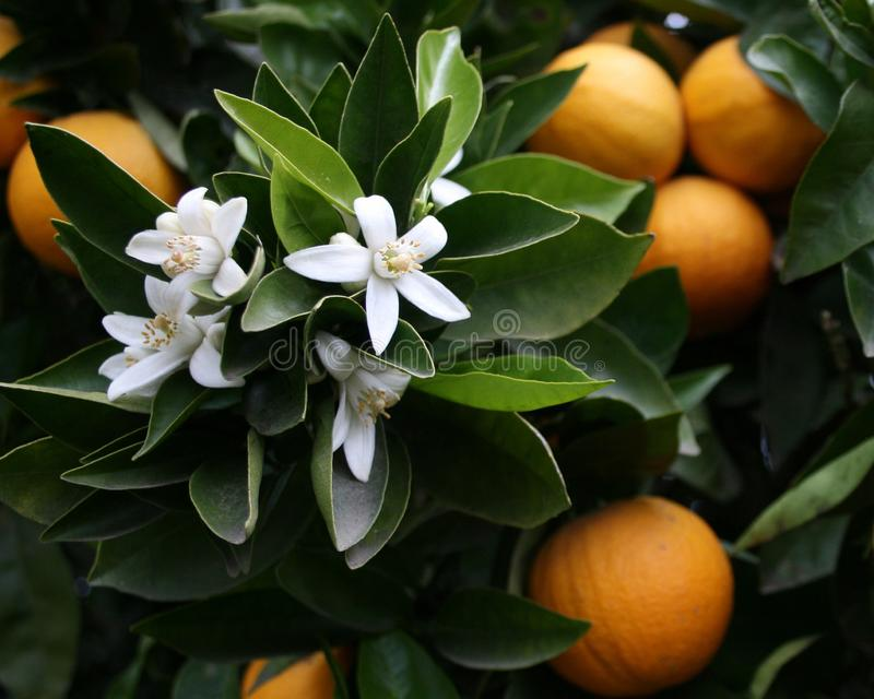 Orange tree with blossoms royalty free stock image