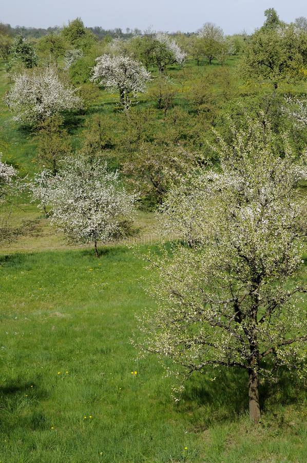 Download Blossoming Orchard #5, Baden Stock Photo - Image: 25212350