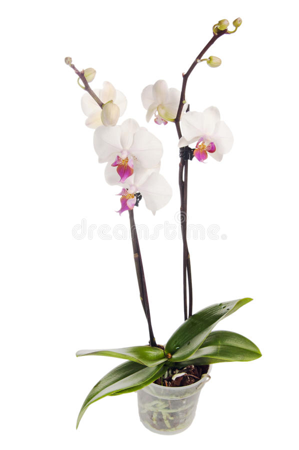 Download Blossoming orchid stock photo. Image of houseplant, clean - 18872888