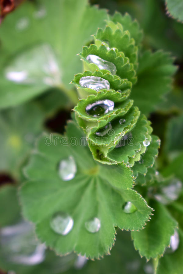 Blossoming out fresh green leaves with raindrops. stock photography