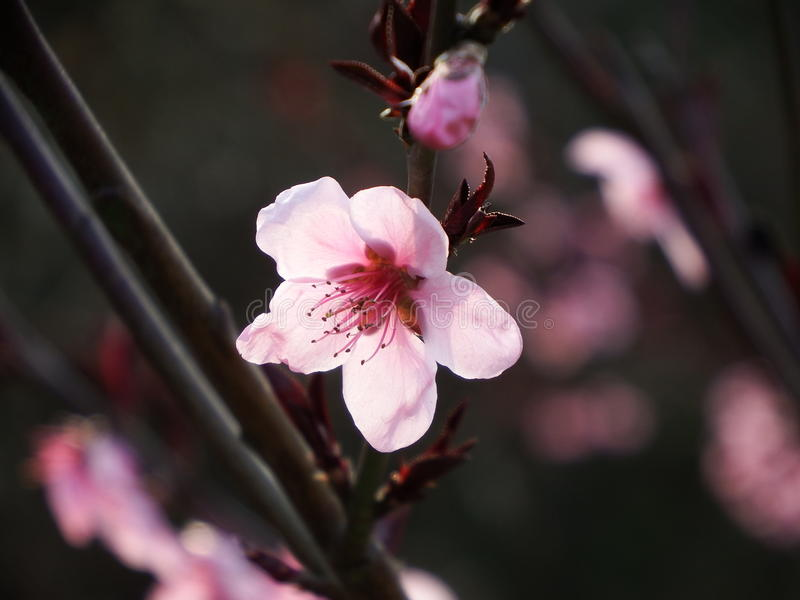 Blossoming peach blossom stock photo