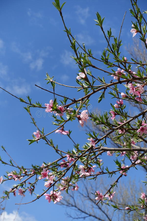 Blossoming peach tree branches against blue skies. Blossoming peach tree branches against the skies stock image