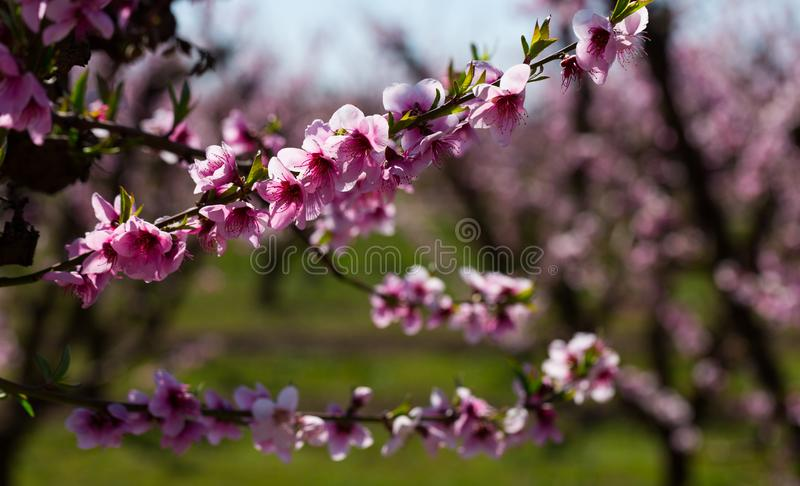 Blossoming peach trees royalty free stock photo