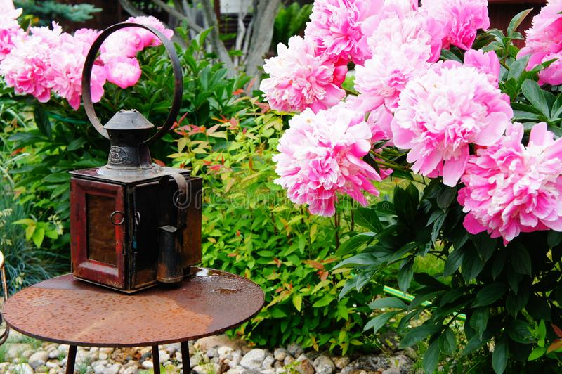 Blossoming peonies and an old lantern. stock images