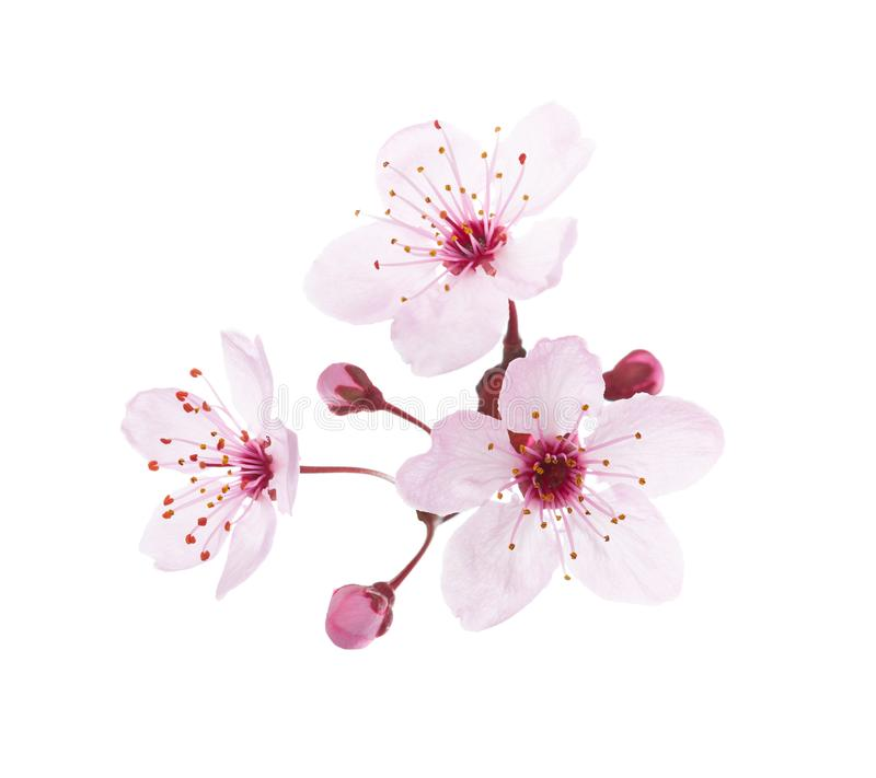 Blossoming pink flowers and buds of Plum isolated on white background. Close-up view.  stock image