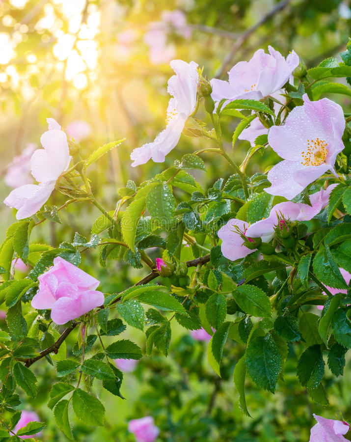 Blossoming pink flowers of wild rose bush in sunlight, natural floral sunny background. Blossoming pink flowers of wild rose bush in sunlight with fresh water stock image