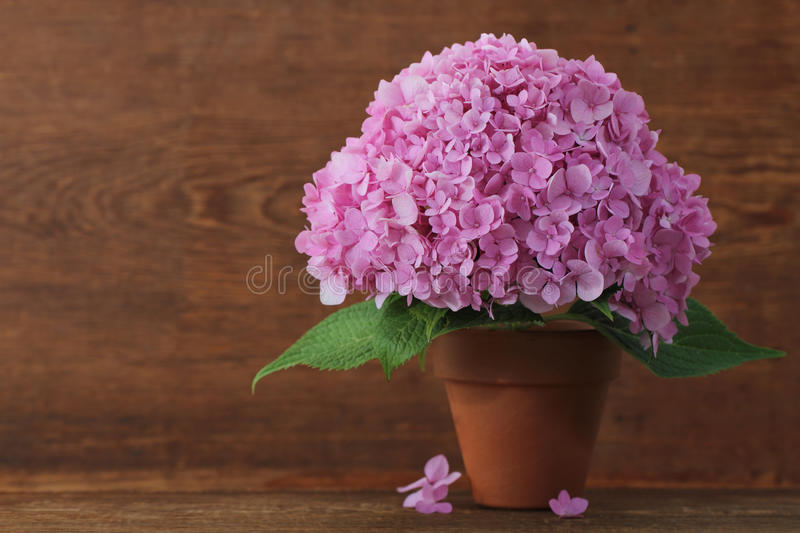 Blossoming pink hydrangea in pot royalty free stock photography