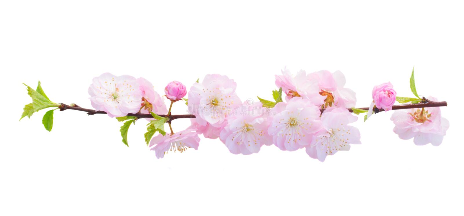 Blossoming pink tree Flowers. Blossoming fresh pink sacura cherry tree branches with flowers against white background royalty free stock images