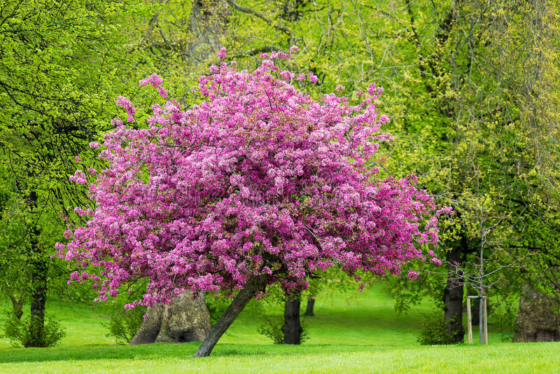 Blossoming pink tree royalty free stock photo