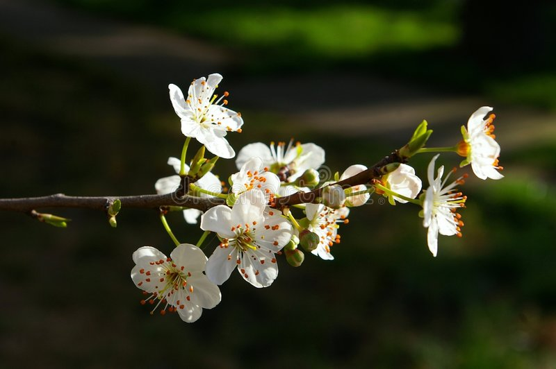 Download Blossoming plum stock photo. Image of tree, beautiful - 4645310