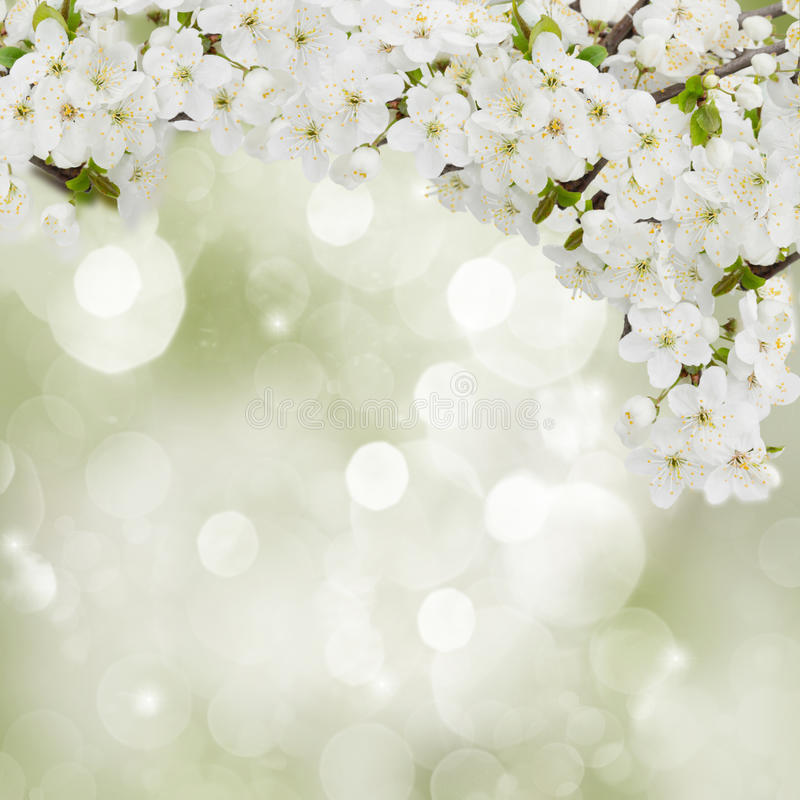 Blossoming Plum Flowers in garden. Blossoming plum flowers on green garden background royalty free stock photo