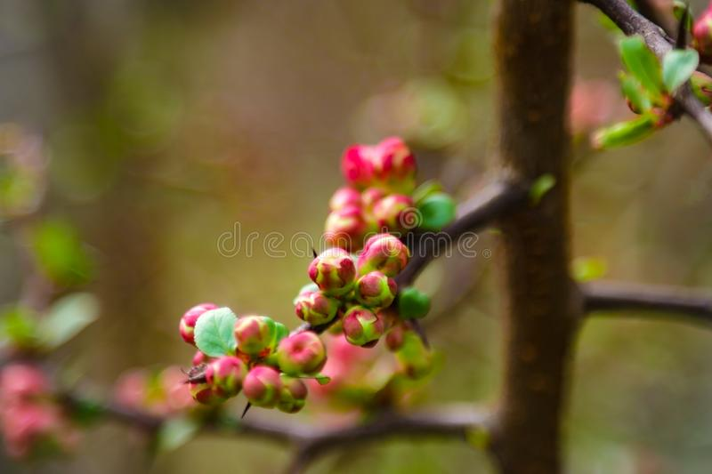 Blossoming of plum flowers in spring time with green leaves. Beautyful background with branch with white flowers stock photography