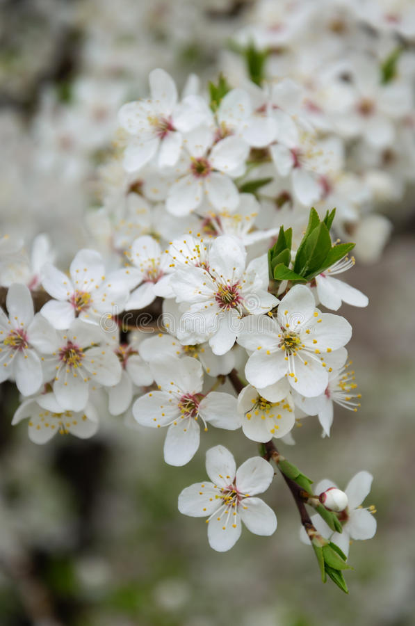 Blossoming plum flowers. royalty free stock photos