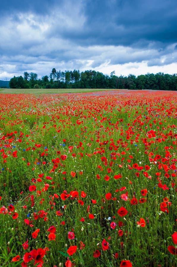 Download Blossoming poppies stock photo. Image of corn, horizon - 28748606