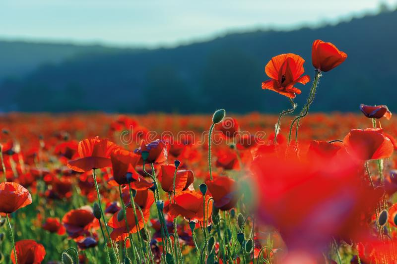 Blossoming poppy field stock photos