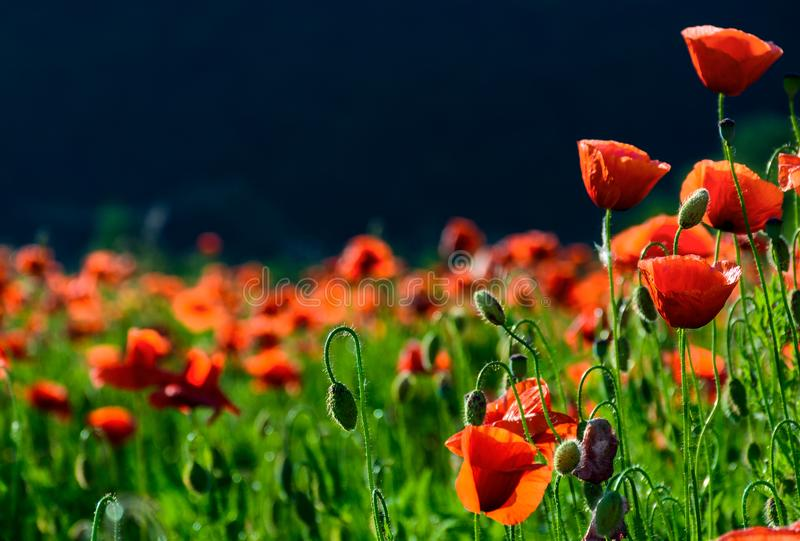 Blossoming poppy field stock photo