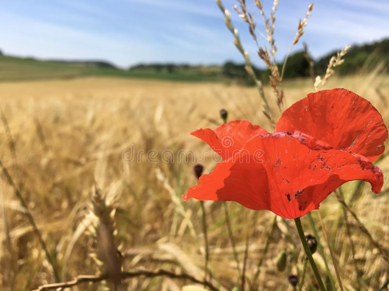 Blossoming Poppy Flower on a wheat / barley / rye crop field in the Eifel Landscape, Germany in beautiful summer sunshine royalty free stock photography