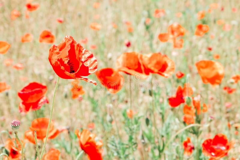 Red poppy flower field at Sangdong Lake Park in Bucheon, Korea royalty free stock images