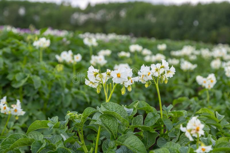 Blossoming of potato fields, potatoes plants with white flowers growing on farmers fiels royalty free stock photo