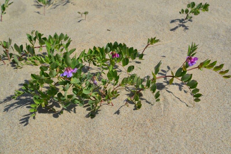 Blossoming a rank seaside (Lathyrus maritimus L. ).  royalty free stock photo