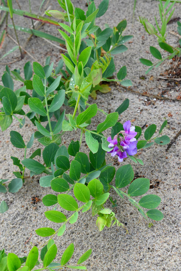 Blossoming a rank seaside (Lathyrus maritimus L.), growing on sa. Nd royalty free stock images