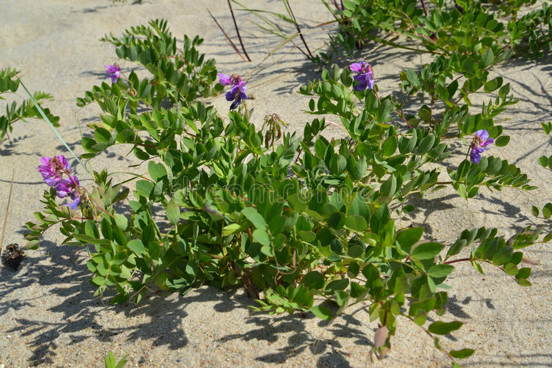 Blossoming ranks seaside (Lathyrus maritimus L. ). ÑŽ stock photo
