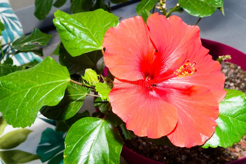 Blossoming Red Hibiscus Flower Surrounded By Green Leaves And Branches. September 28, 2019. Madrid. Spain. Relax Decoration yoga. Taichi royalty free stock photos