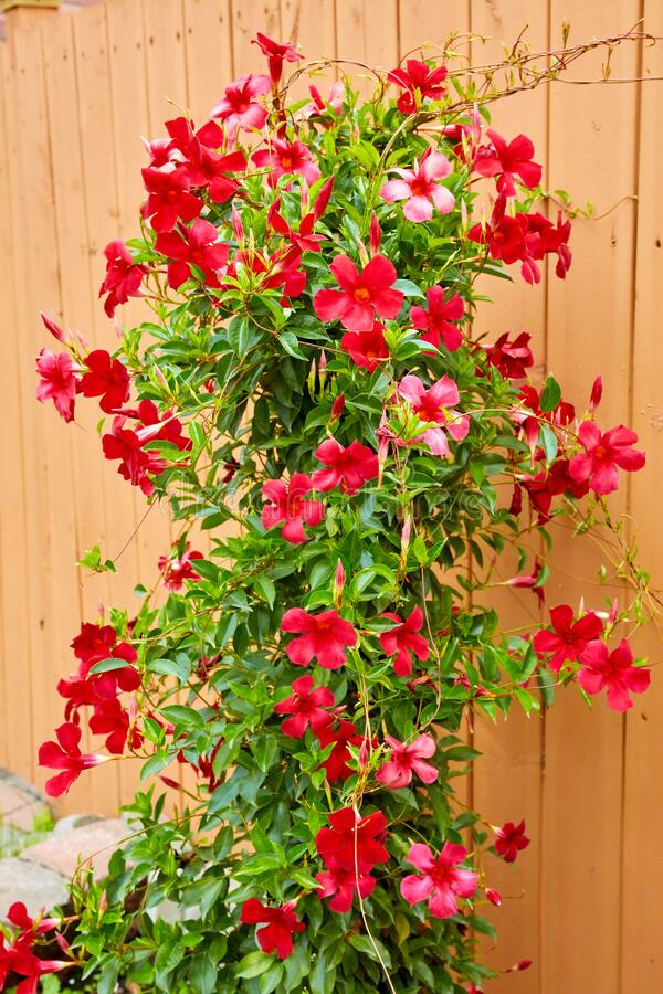 Free Blossoming Red Mandevilla Flower In A Garden Agains Wooden Fence Background Royalty Free Stock Photos - 174674808