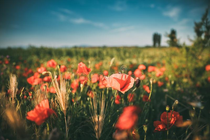 Blossoming Red Poppy Flowers On The Field In A Spring Sunny Day stock images