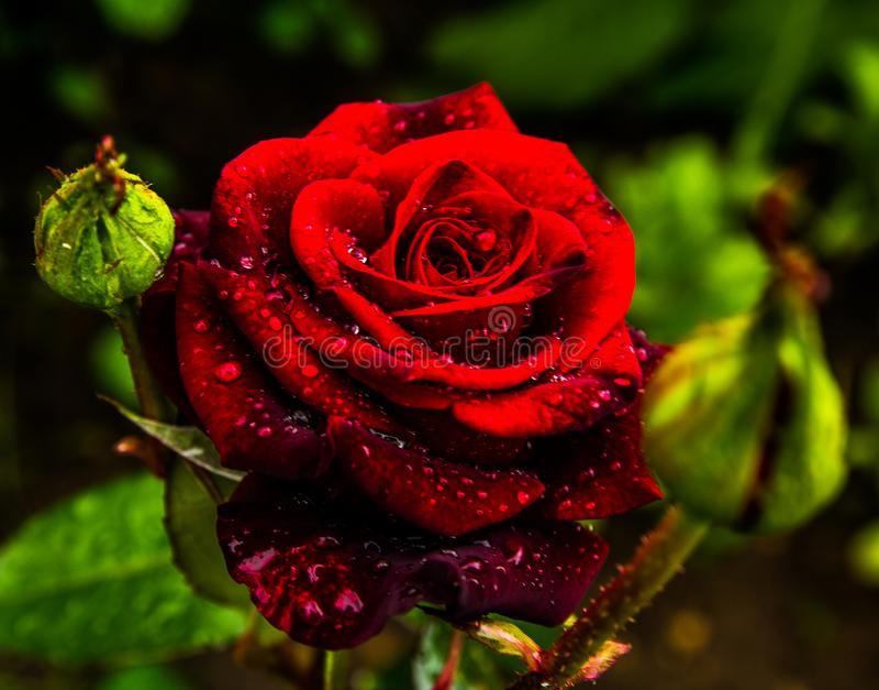 Red rose petals with rain drops closeup. Red Rose. stock image