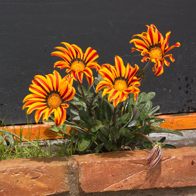 Download The Blossoming Red-yellow Gazania Stock Image - Image of yellow, leaves: 83719747