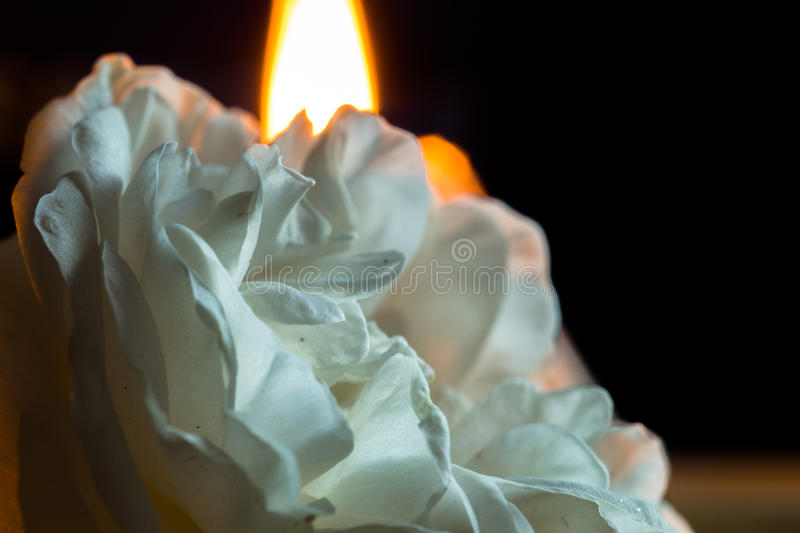 A blossoming rose flower with white petals, on a black background and a candle burning behind. Macro stock photos
