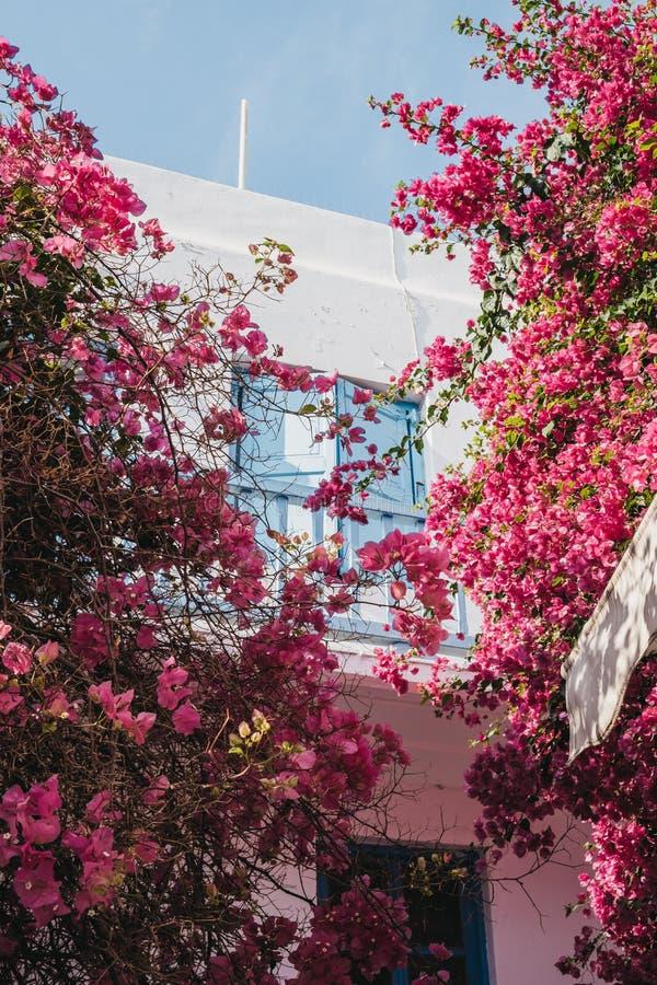 Blossoming roze bomen voor een huis in Hora, Mykonos, Griekenland, selectieve focus stock fotografie