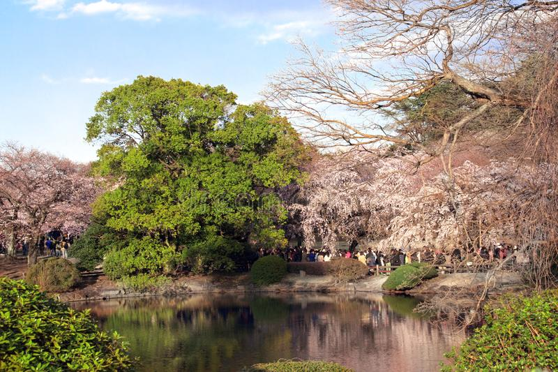 Blossoming sakura in Shinjuku Gyoen national garden, Tokyo, Japan. Blossoming sakura in Shinjuku Gyoen national garden, Shinjuku district, Tokyo, Japan stock photo