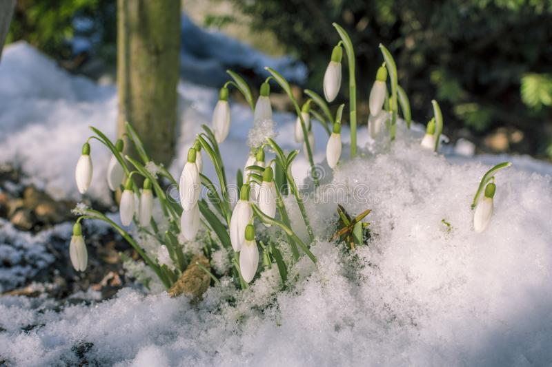 Blossoming snowdrop covered with fresh snow. royalty free stock photography