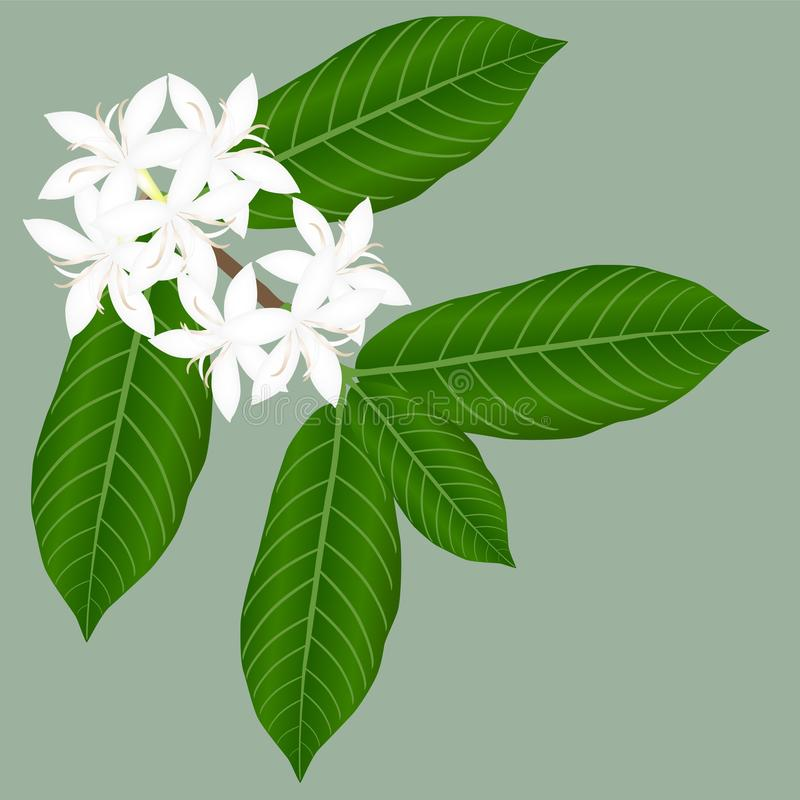 A blossoming sprig of coffee with leaves on a green background. stock illustration