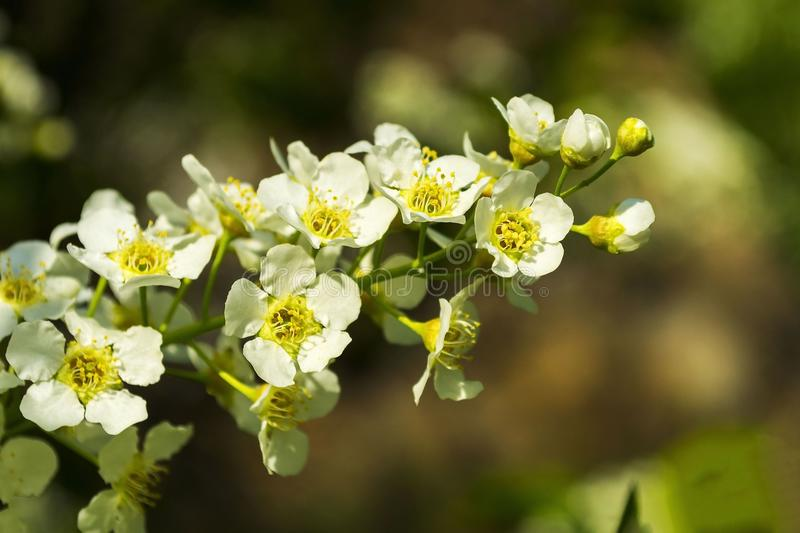 Blossoming spring branch of bird cherry close up stock photos