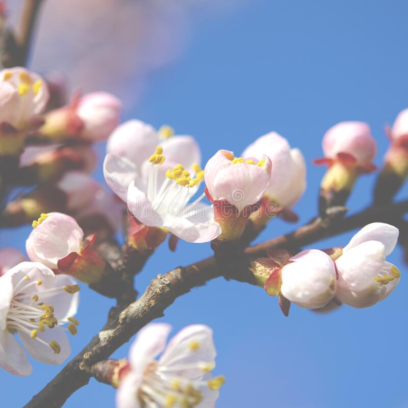 Blossoming spring garden. A branch of apricot with flowers. Close-up royalty free stock photography