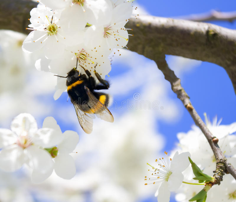 Blossoming spring tree royalty free stock photo
