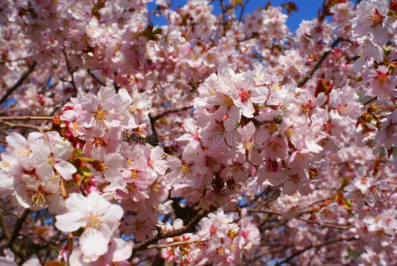 Blossoming spring tree pink flowers. Beautiful Blossoming spring tree pink flowers royalty free stock photos