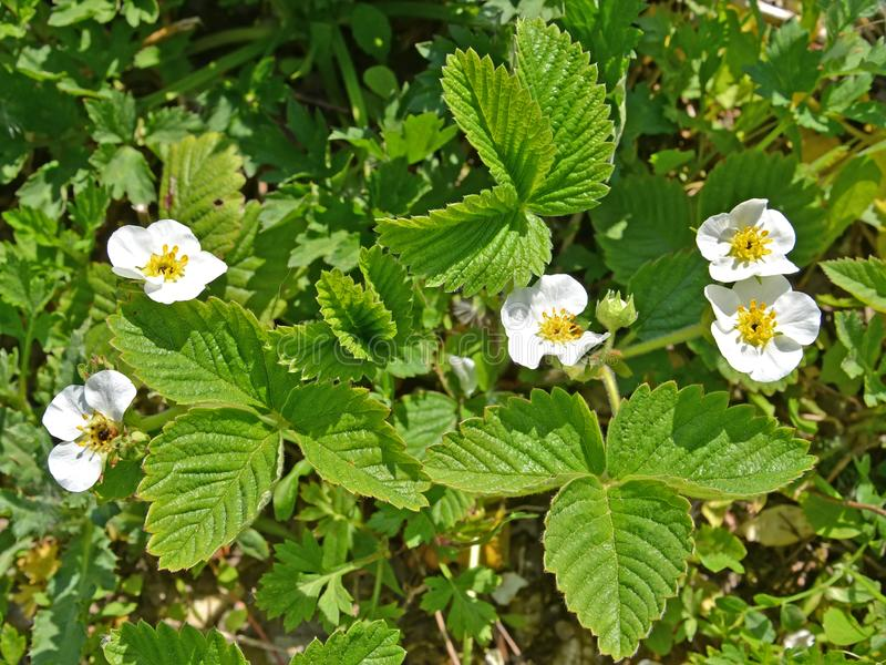 Blossoming of strawberry Fragaria × ananassa Duchesne ex Weston Duchesne ex Rozier.  royalty free stock images