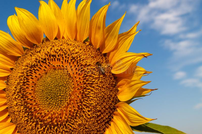 The blossoming sunflower with a bee close up stock photos