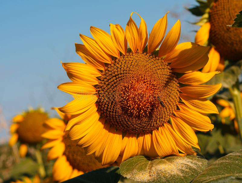 The blossoming sunflower with a bee close up royalty free stock photo