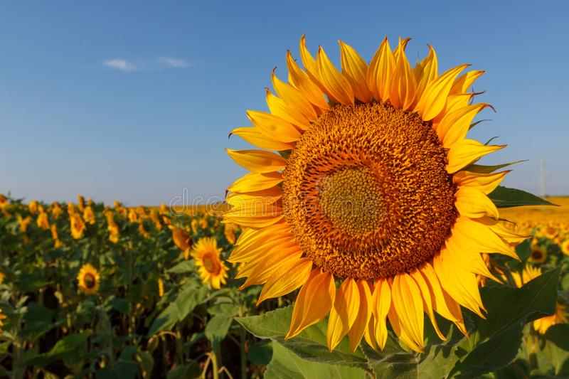 The blossoming sunflower close up against the background of the field stock photo