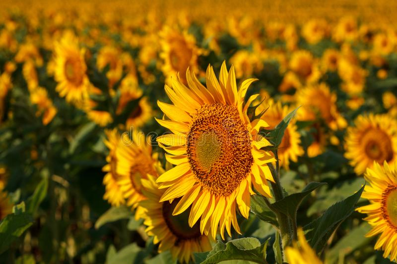 The blossoming sunflower close up against the background of the field stock photos
