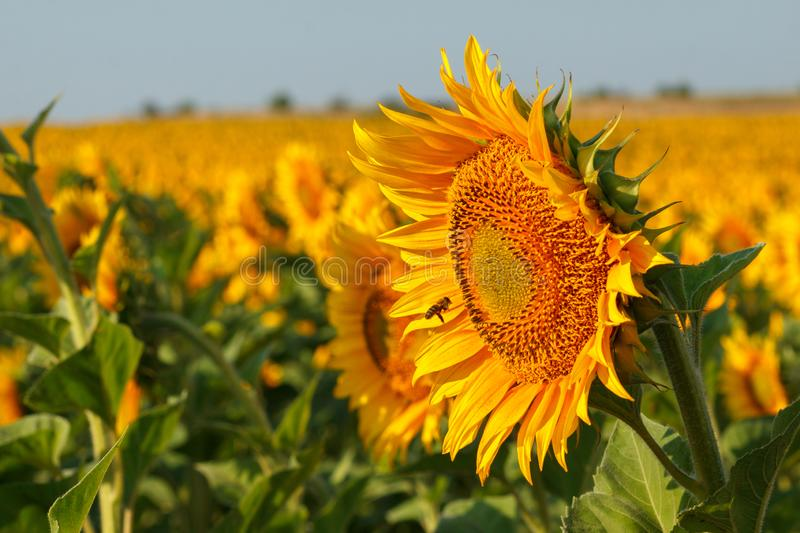 The blossoming sunflower close up against the background of the field royalty free stock photography